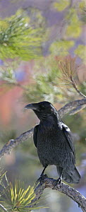 Common raven {Corvus corax} perched, Utah, USA  -  Ian McCarthy