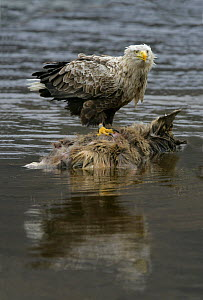 White tailed sea eagle {Haliaeetus albicilla} feeding on deer carcass in water, Scotland, UK  -  Ian McCarthy