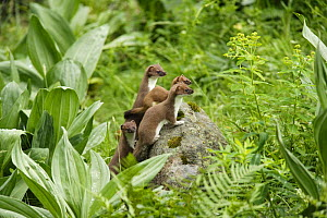 Stoat / Ermine (Mustela erminea) mother with three young, Aran valley, Pyrenees, Spain - Oriol Alamany