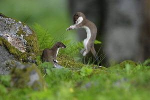 Stoat / Ermine (Mustela erminea) two juveniles playing, Aran valley, Pyrenees, Spain - Oriol Alamany