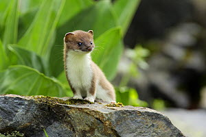 Stoat / Ermine (Mustela erminea) juvenile, Aran valley, Pyrenees, Spain - Oriol Alamany