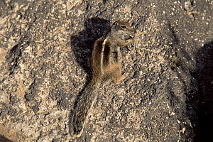 Barbary ground squirrel (Atlantoxerus getulus) Fuerteventura, Canary Islands. Introduced to Fuerteventura from North Africa as a household pet in 1965 and then escaped into the wild. - Francis Abbott