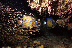 Bluering angelfish (Pomacanthus annularis) with a shoal of Luminous cardinalfish / Glassfish (Rhabdamia gracilis) shelter within a small cave from the strong currents that sweep Ko Tachai island in th...  -  Francis Abbott