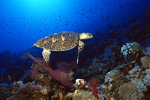 Hawksbill turtle (Eretmochelys imbricata) searching for food on the Panorama reef, northern Red Sea.  -  Francis Abbott