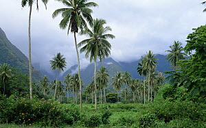 Palm trees and lush green scenery of the island of Tahiti during the rainy season, which lasts from November to February.  -  Francis Abbott