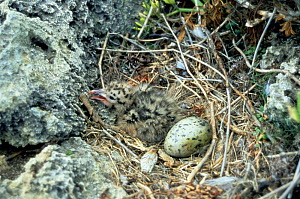 Audouin's Gull (Ichthyaetus audouinii) nest with hatchling and one egg, Isla del Aire, Menorca. Endangered.  -  Francis Abbott