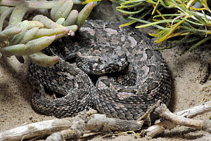 Southern Adder (Bitis armata) adult male snake, De Hoop NR, South Africa  -  Tony Phelps