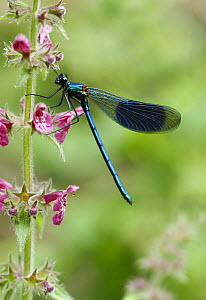 Banded Demoiselle (Calopteryx splendens) resting on Woundwort (Stachys sp) flowers, UK  -  Russell Cooper