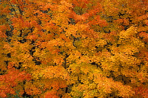 Leaves of the Sugar Maple {Acer saccharum} tree in autumn, Greenville, Maine, USA  -  Jerry Monkman