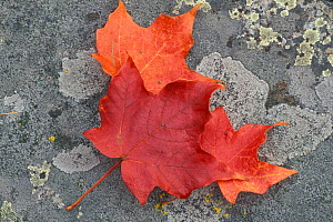 Fallen leaves of the Sugar Maple {Acer saccharum} tree in autumn, New Hampshire, USA  -  Jerry Monkman