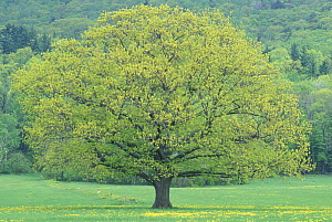 Northern Red Oak tree {Quercus rubra} in early summer, Sandwich, New Hampshire, USA  -  Jerry Monkman