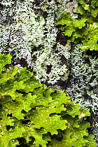 Lichens, Tree lungwort {Lobaria pulmonaria} (green) and {Anzia colpodes} on a maple tree, Acadia National Park, Maine, USA  -  Jerry Monkman