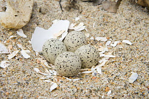 Four eggs in nest of Piping plover {Charadrius melodus} on the beach at Griswold Point, Old Lyme, Connecticut, USA  -  Jerry Monkman
