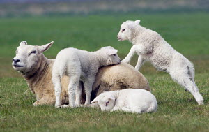 Domestic Sheep with lambs playing {Ovis aries} - ARCO