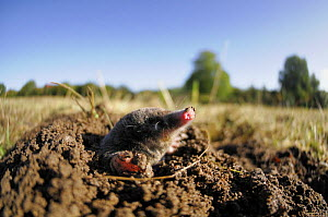 European Mole (Talpa europaea) emerging from its molehill, Germany. Live, captive animal.  -  Solvin Zankl