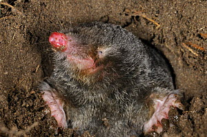 European Mole (Talpa europaea) in its subterranean burrow, Germany. Live, captive animal. - Solvin Zankl