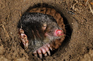 European Mole (Talpa europaea) in its subterranean burrow. Germany. Live, captive animal. - Solvin Zankl