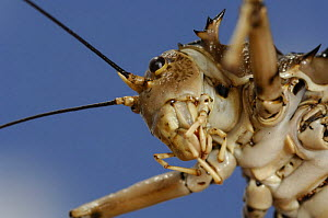 Close up of mouthparts of Armoured Cricket (Hetrodes pupus) Namib desert, Namibia  -  Solvin Zankl