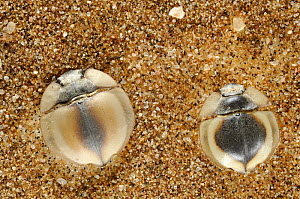 Trench digger beetles {Lepidochora sp} dug into the sand on a sand dune, Namib Desert, Namibia  -  Solvin Zankl