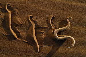 Dwarf puff adder / Peringueys Sidewinding Adder (Bitis peringueyi) moving over the loose sand in  typical mode of locomotion, Namib desert, Namibia - Solvin Zankl