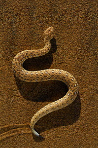 Dwarf puff adder / Peringueys Sidewinding Adder (Bitis peringueyi) moving over the loose sand in  typical mode of locomotion, Namib desert, Namibia)  -  Solvin Zankl