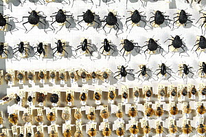 Collection of beetles from the Namib desert, Namibia  -  Solvin Zankl