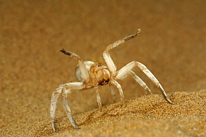 Dancing White Lady Spider (Leucorchestris arenicola) 'dancing' in defensive threat display on sand dune, Namib Desert, Namibia  -  Solvin Zankl