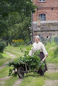 Woman with a wheel barrow loaded with leaves of White Mulberry (Morus alba) for feeding the silkworms (Bombyx mori) for silk production, Zernikow, Brandenburg, Germany. July 2007 - Kerstin Hinze