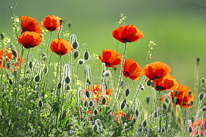 Poppy (Papaver rhoeas) flowers and buds, Bulgaria May 2008  -  Kerstin Hinze