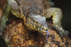 Asian Water Monitor [Varanus salvator] portrait with tongue exposed, Sukau, Sabah, Borneo, September - Tony Heald