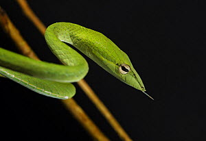 Long nosed / Oriental Whip Snake [Ahaetulla prasina] Bako National Park, Sarawak, Borneo, September  -  Tony Heald
