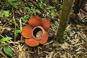 Rafflesia (Rafflesia keithei) flower on rainforest floor, Kinabalu, Sabah, Borneo, September  -  Tony Heald