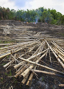 Bamboo clearance to enable other cultivation, Kinabalu, Sabah, Borneo, September 2008  -  Tony Heald