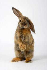 Young Satin Lop-eared Dwarf Domestic Rabbit standing up with one ear raised, japanese, 8 weeks  -  Petra Wegner