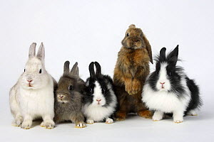 Lion-maned Dwarf Domestic Rabbits, 13 weeks, Dwarf Rabbit, and Satin Lop-eared Dwarf Rabbit, 8 weeks  -  Petra Wegner