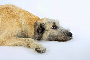Irish Wolfhound, 6 months, lying down looking up - Petra Wegner