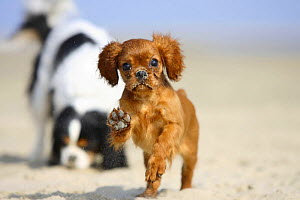 Cavalier King Charles Spaniel, puppy, 14 weeks, ruby, running on beach with adult in background  -  Petra Wegner