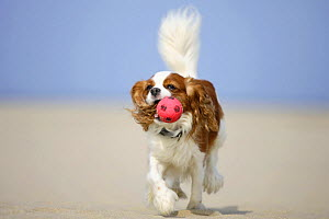 Cavalier King Charles Spaniel, blenheim, retrieving ball, running on beach  -  Petra Wegner