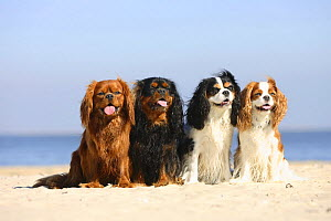 Cavalier King Charles Spaniel, ruby, black-and-tan, tricolour and blenheim, sitting in line on beach, panting  -  Petra Wegner