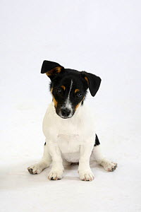 Jack Russell Terrier, puppy bitch, 4 month, sitting with back legs splayed  -  Petra Wegner
