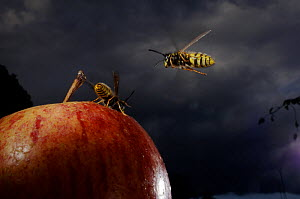 Common wasp (Vespula vulgaris) two workers flying to and feeding on apple, UK  -  Laurent Geslin