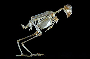 Skeleton of a Sparrowhawk {Accipiter nisus} - Laurent Geslin