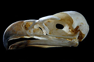 Skull and beak of Wedge tailed eagle {Aquila audax} - Laurent Geslin