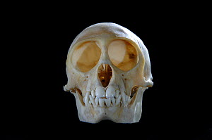 Skull and teeth of Blue monkey {Cercopithecus mitis} - Laurent Geslin