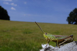 Meadow Grasshopper (Chorthippus parallelus) in field habitat, UK  -  Laurent Geslin