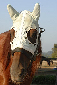 Race horse (Equus caballus) with face mask to protect it from flies, France - Laurent Geslin