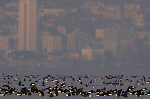 Tufted Duck (Aythya fuligula) flock overwintering on Lake Leman / Geneva with city in background, Switzerland  -  Laurent Geslin