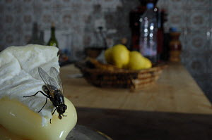 Common house flies {Musca domestica} on soft french cheese in a kitchen, UK - Laurent Geslin
