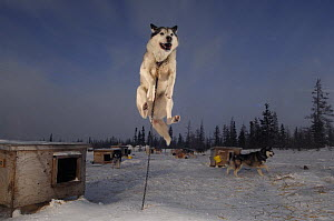 Sled dog leaping into the air, Canada  -  Laurent Geslin