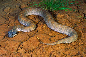 Rugose Death Adder (Acanthophis rugosus) adult female lures prey to its grub-like tail tip, Cape Crawford, Northern Territory, Australia  -  Robert Valentic
